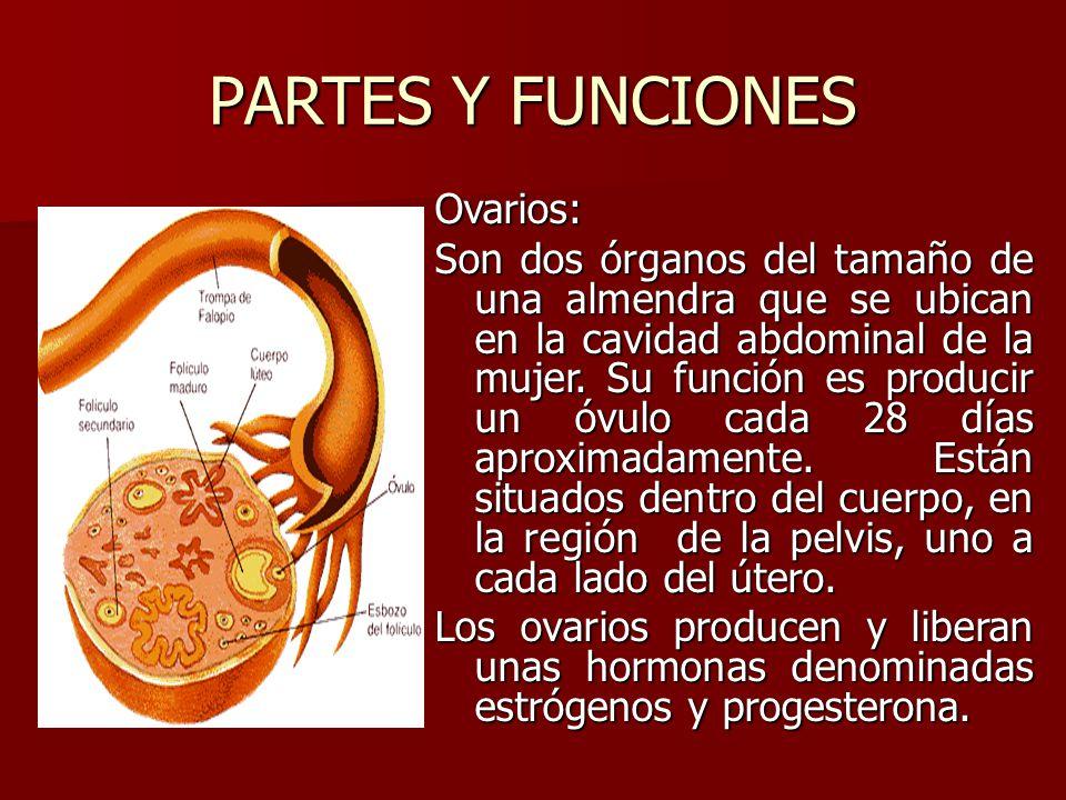 Único Función Del útero Motivo - Anatomía de Las Imágenesdel Cuerpo ...