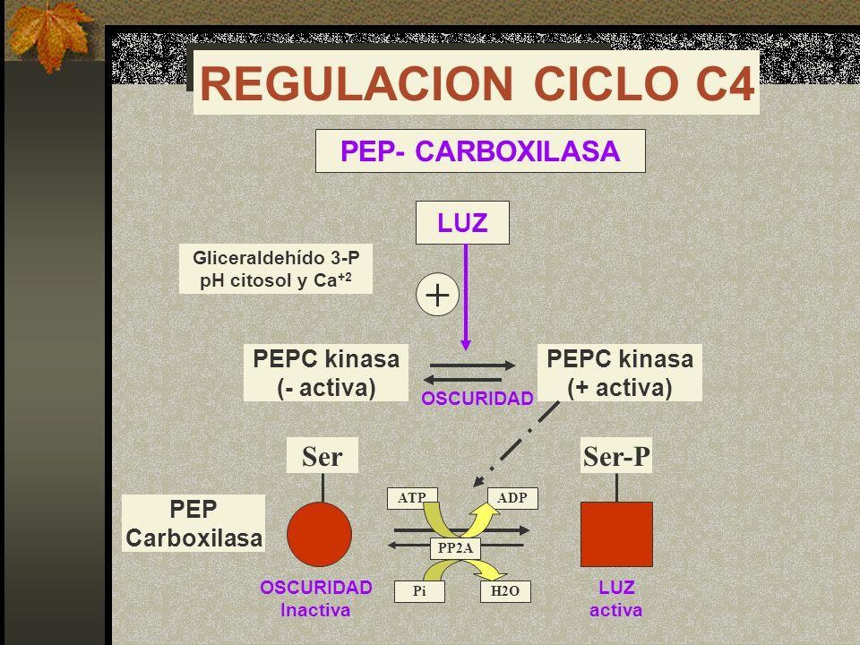 REGULACION CICLO C4 + PEP- CARBOXILASA Ser Ser-P LUZ PEPC kinasa