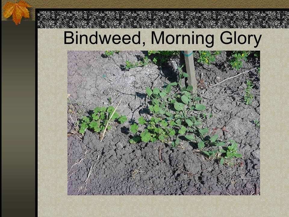 Bindweed, Morning Glory
