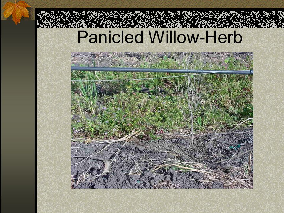 Panicled Willow-Herb