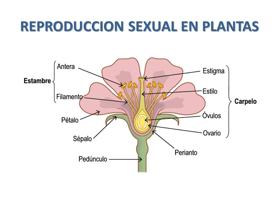 REPRODUCCION SEXUAL EN PLANTAS