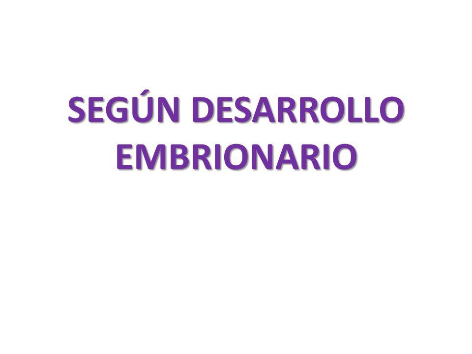 SEGÚN DESARROLLO EMBRIONARIO