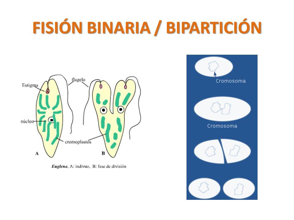 FISIÓN BINARIA / BIPARTICIÓN