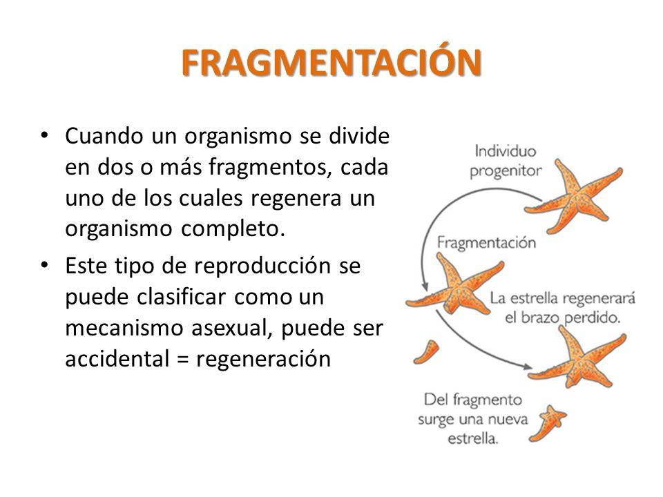 FRAGMENTACIÓN Cuando un organismo se divide en dos o más fragmentos, cada uno de los cuales regenera un organismo completo.