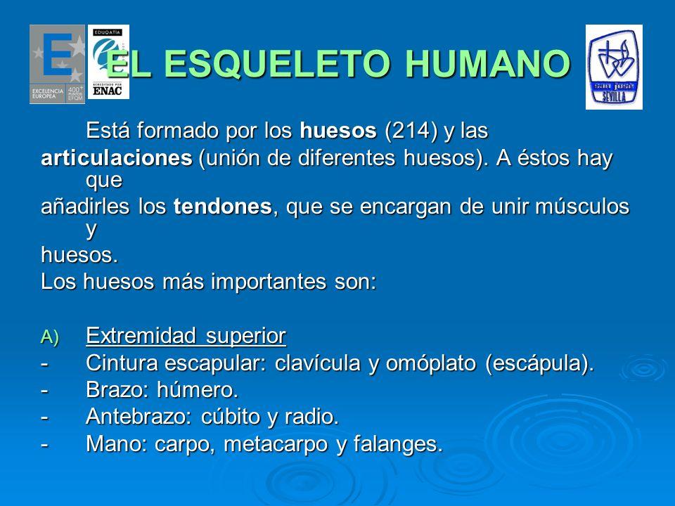 EL ESQUELETO HUMANO Está formado por los huesos (214) y las