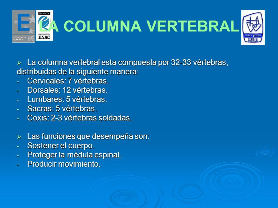 LA COLUMNA VERTEBRAL La columna vertebral esta compuesta por 32-33 vértebras, distribuidas de la siguiente manera: