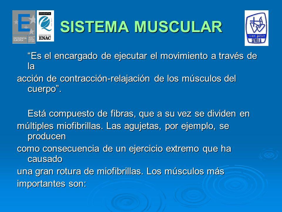 SISTEMA MUSCULAR Es el encargado de ejecutar el movimiento a través de la. acción de contracción-relajación de los músculos del cuerpo .
