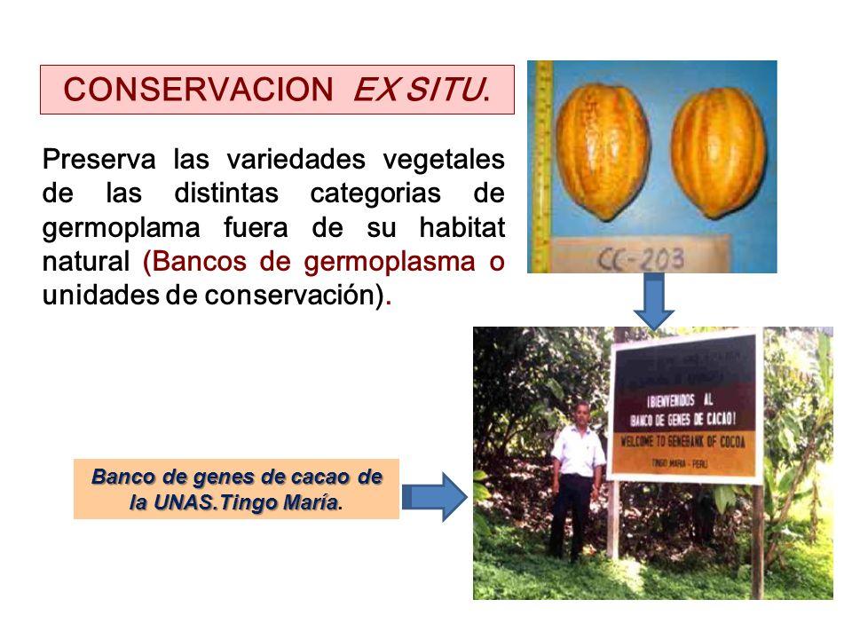 Banco de genes de cacao de la UNAS.Tingo María.
