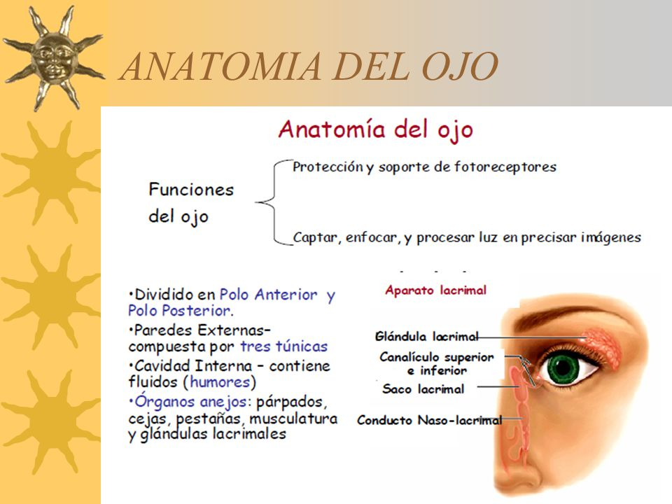 Atractivo Anatomía Del Ojo Ppt Galería - Imágenes de Anatomía Humana ...