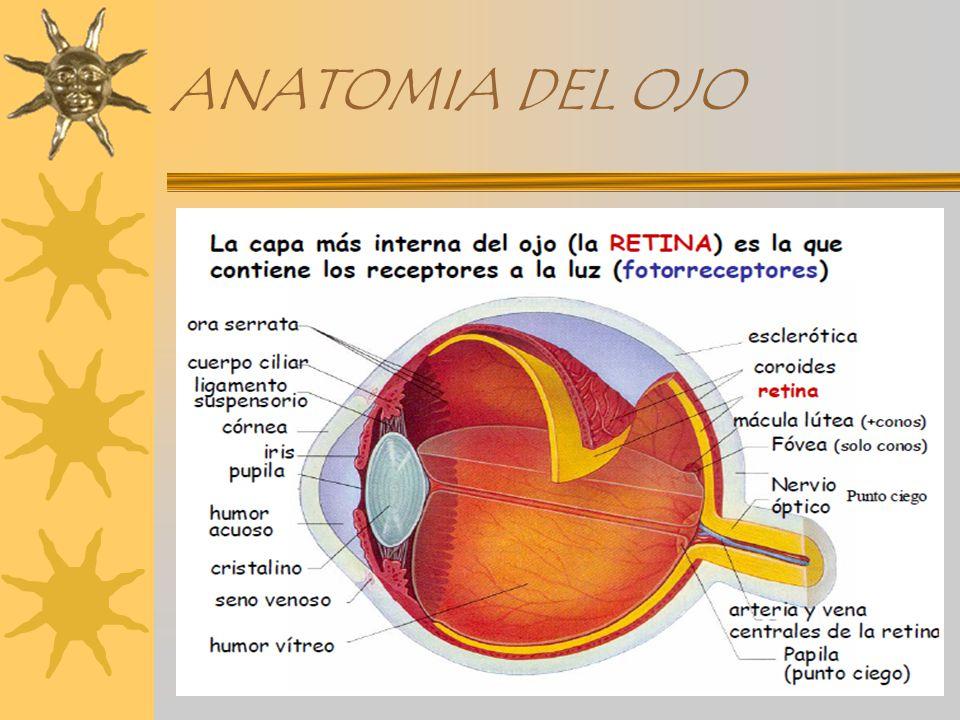 Magnífico Anatomía De Un Globo Ocular Motivo - Anatomía de Las ...