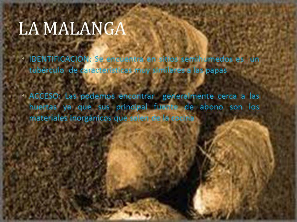 LA MALANGA IDENTIFICACION: Se encuentra en sitios semihumedos es un tubérculo de características muy similares a las papas.