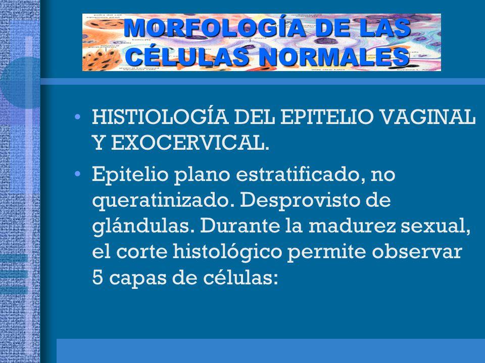 MORFOLOGÍA DE LAS CÉLULAS NORMALES