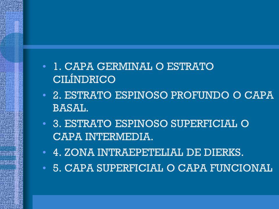 1. CAPA GERMINAL O ESTRATO CILÍNDRICO