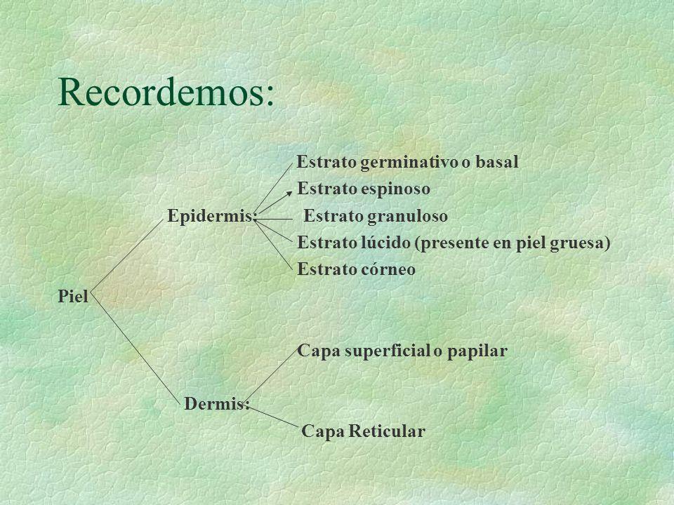 Recordemos: Estrato espinoso Epidermis: Estrato granuloso