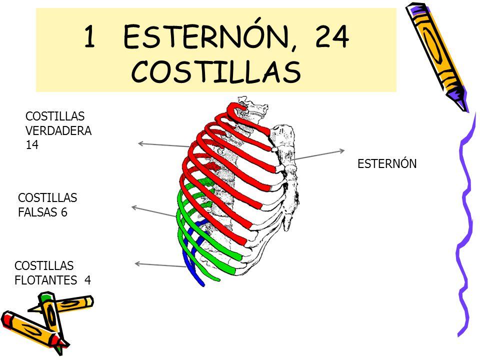 Famoso Anatomía De Costillas Y El Esternón Festooning - Imágenes de ...
