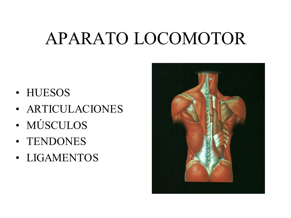 APARATO LOCOMOTOR HUESOS ARTICULACIONES MÚSCULOS TENDONES LIGAMENTOS ...