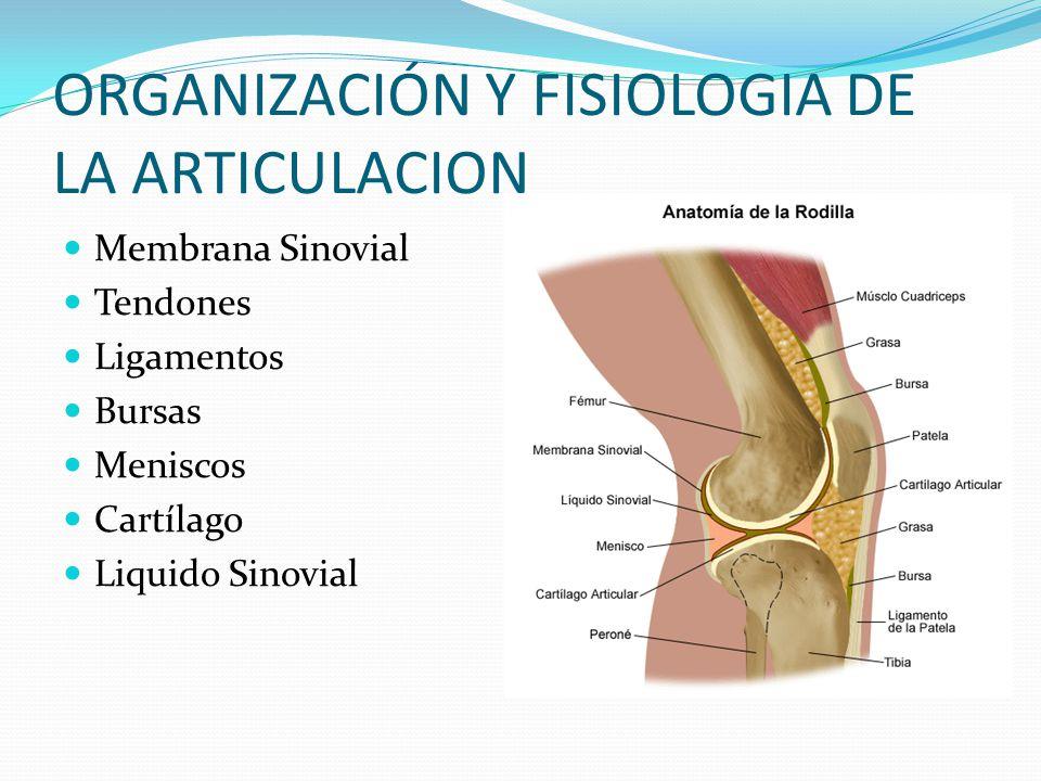 Dorable Anatomía De Los Tendones Y Ligamentos De La Rodilla ...