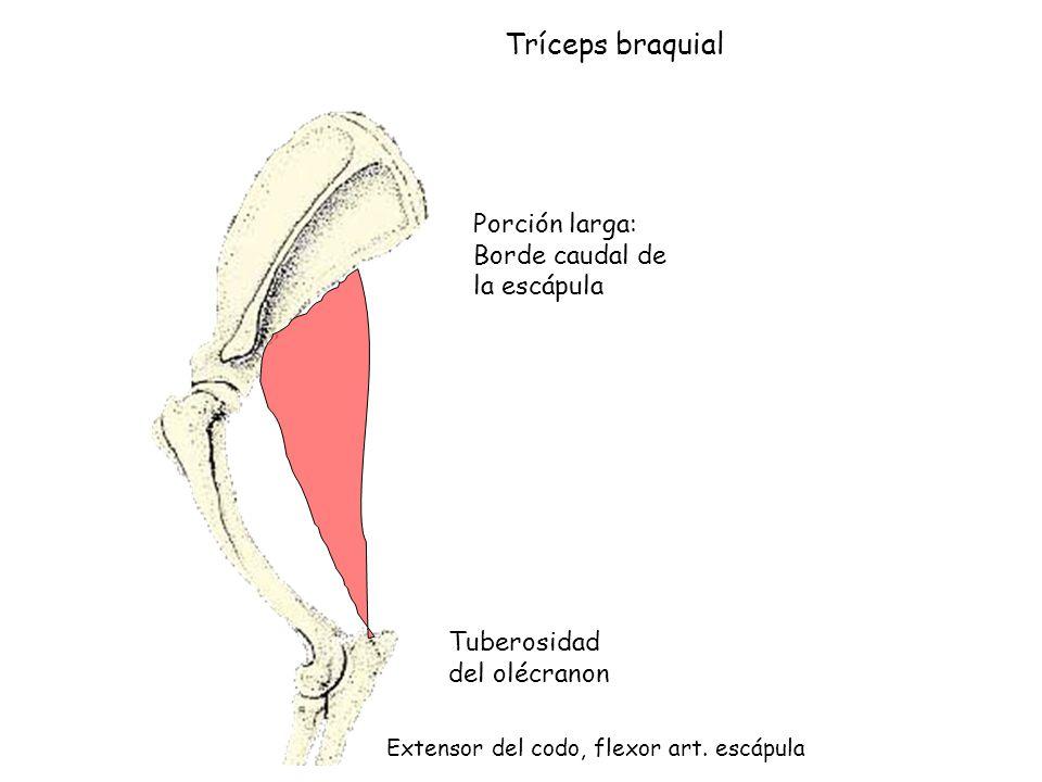 Hermosa Bíceps Braquial Cabeza Larga Colección de Imágenes ...