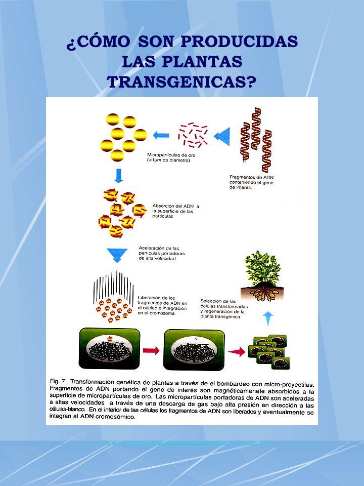 ¿CÓMO SON PRODUCIDAS LAS PLANTAS TRANSGENICAS