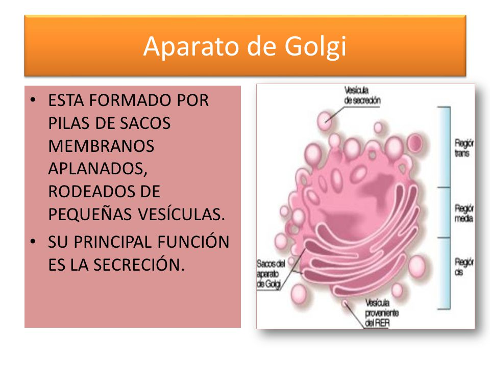 Aparato de Golgi ESTA FORMADO POR PILAS DE SACOS MEMBRANOS APLANADOS, RODEADOS DE PEQUEÑAS VESÍCULAS.