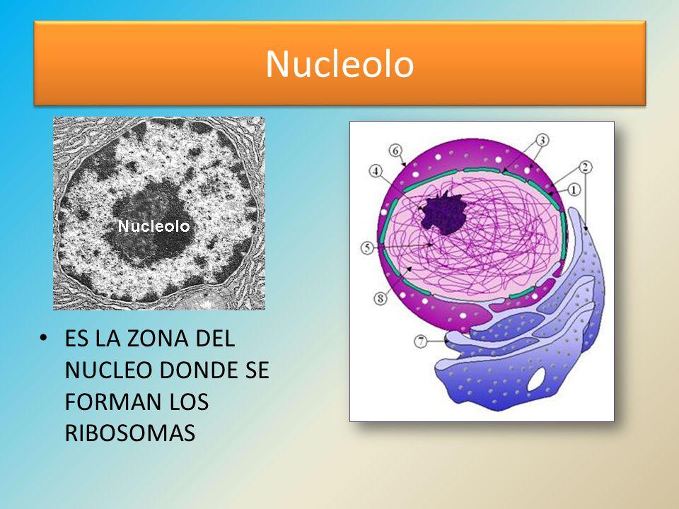 Nucleolo ES LA ZONA DEL NUCLEO DONDE SE FORMAN LOS RIBOSOMAS