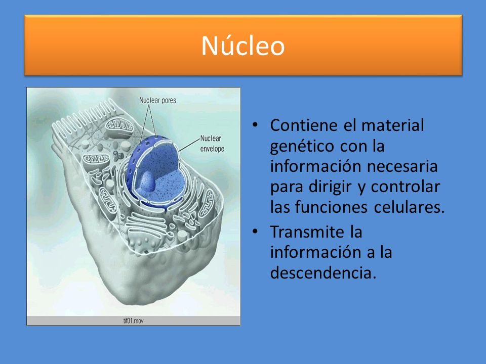 Núcleo Contiene el material genético con la información necesaria para dirigir y controlar las funciones celulares.