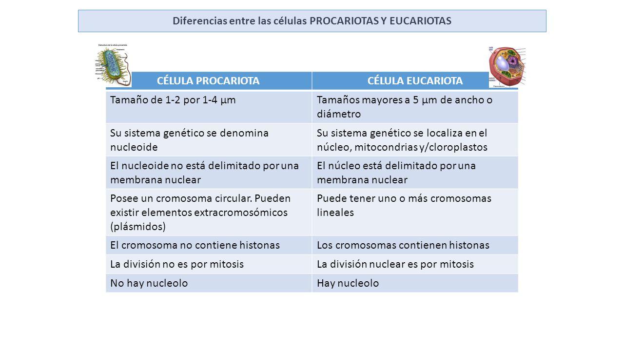 Diferencias entre las c lulas procariotas y eucariotas for Diferencia entre yeso y escayola
