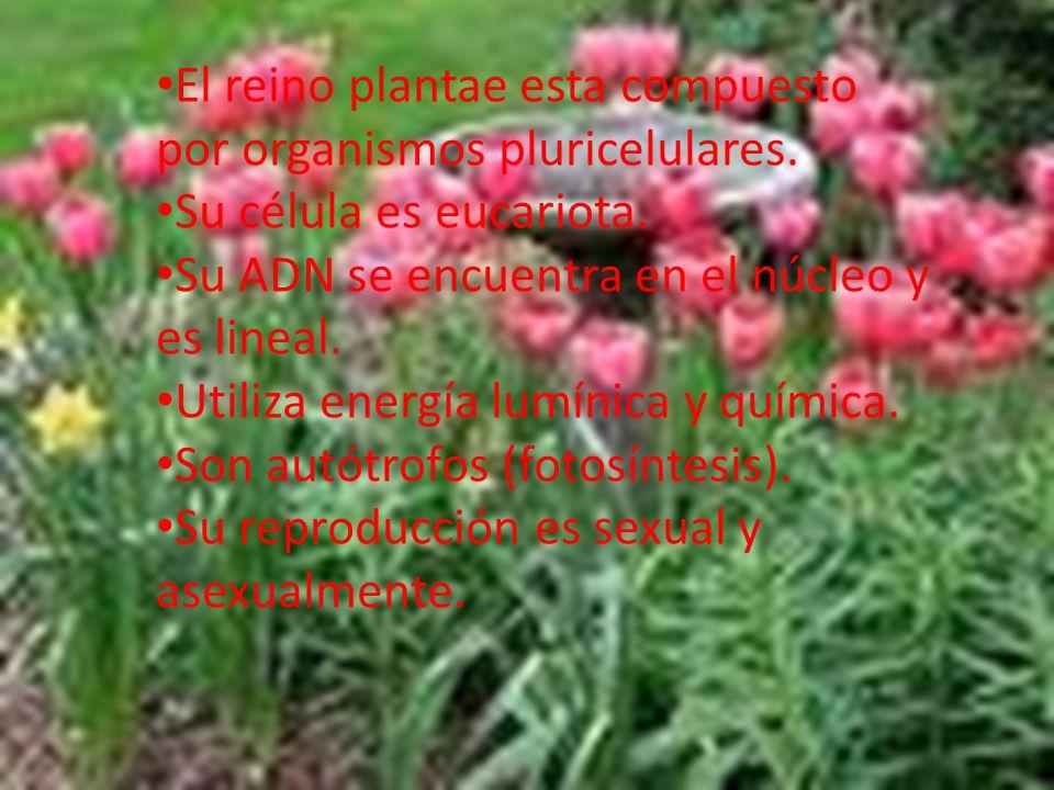 El reino plantae esta compuesto por organismos pluricelulares.