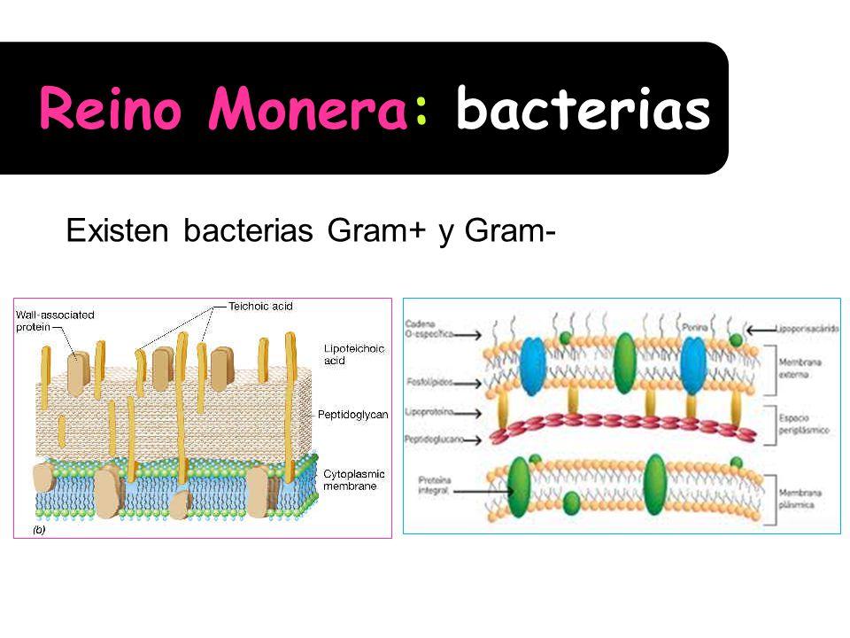 Reino Monera: bacterias