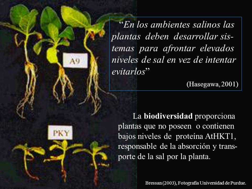 En los ambientes salinos las plantas deben desarrollar sis- temas para afrontar elevados niveles de sal en vez de intentar evitarlos (Hasegawa, 2001)