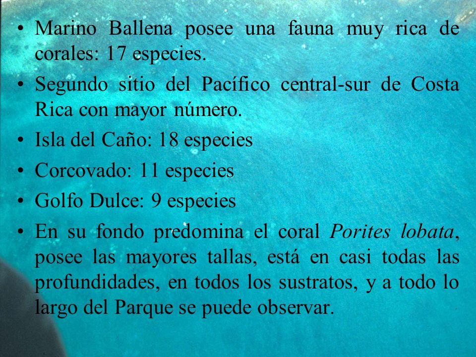 Marino Ballena posee una fauna muy rica de corales: 17 especies.