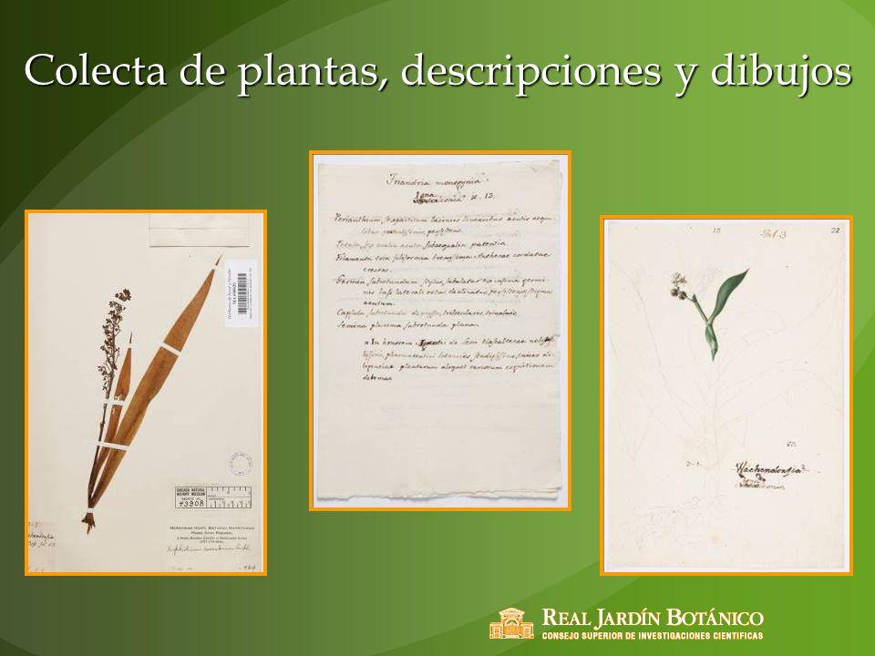 Colecta de plantas, descripciones y dibujos