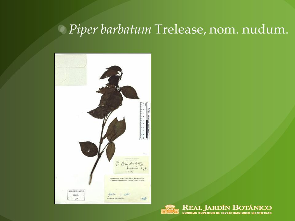 Piper barbatum Trelease, nom. nudum.