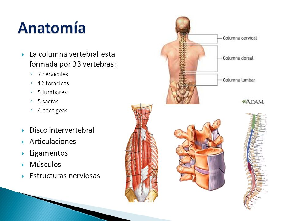 Anatomía La columna vertebral esta formada por 33 vertebras: