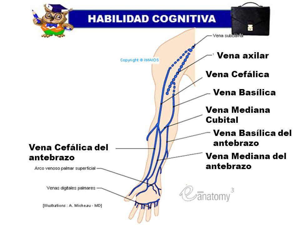 Moderno Anatomía Arco Cefálica Viñeta - Anatomía de Las Imágenesdel ...