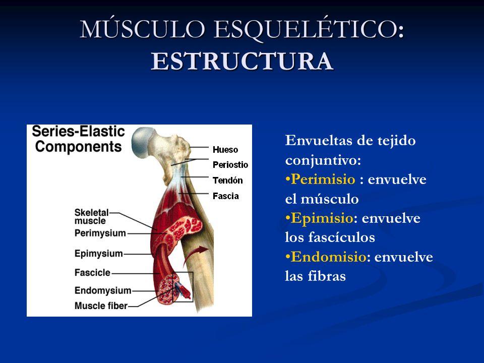 Hermosa Músculo Liso Visceral Friso - Imágenes de Anatomía Humana ...