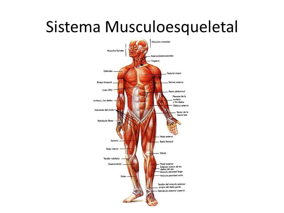 Sistema Musculoesqueletal