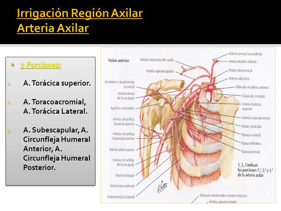 Fantástico Anatomía Axilar Friso - Anatomía de Las Imágenesdel ...