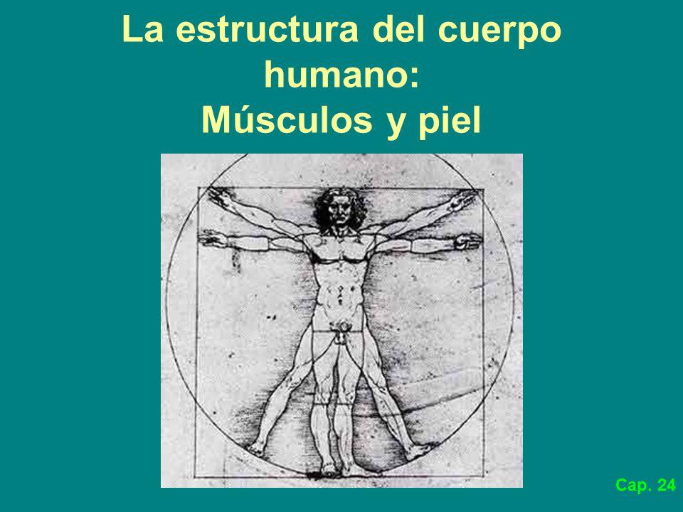 La estructura del cuerpo humano: Músculos y piel - ppt descargar