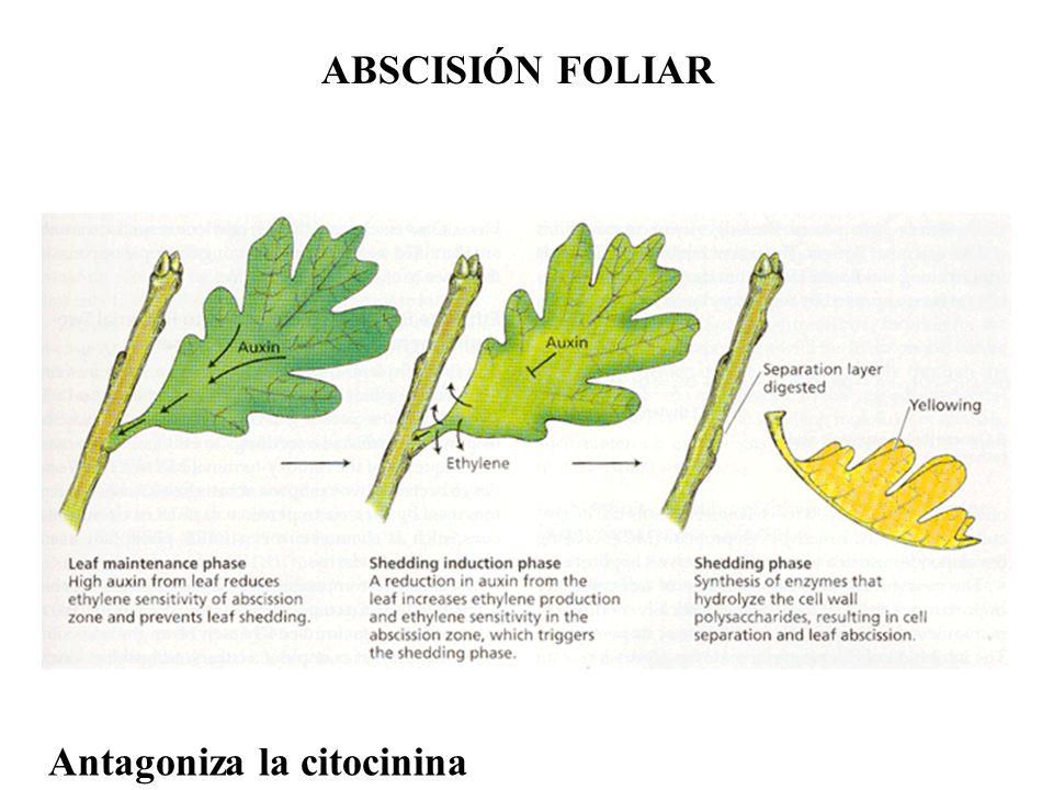 ABSCISIÓN FOLIAR Antagoniza la citocinina