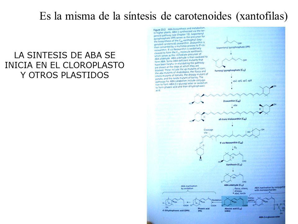 LA SINTESIS DE ABA SE INICIA EN EL CLOROPLASTO Y OTROS PLASTIDOS