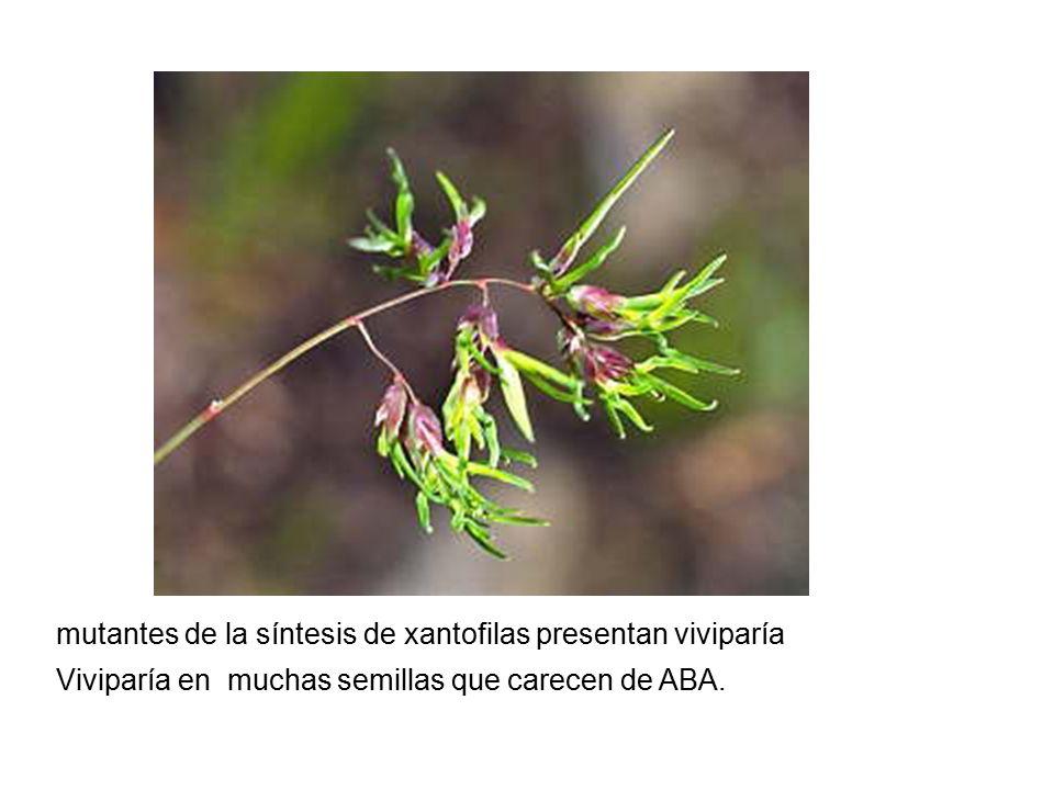 mutantes de la síntesis de xantofilas presentan viviparía