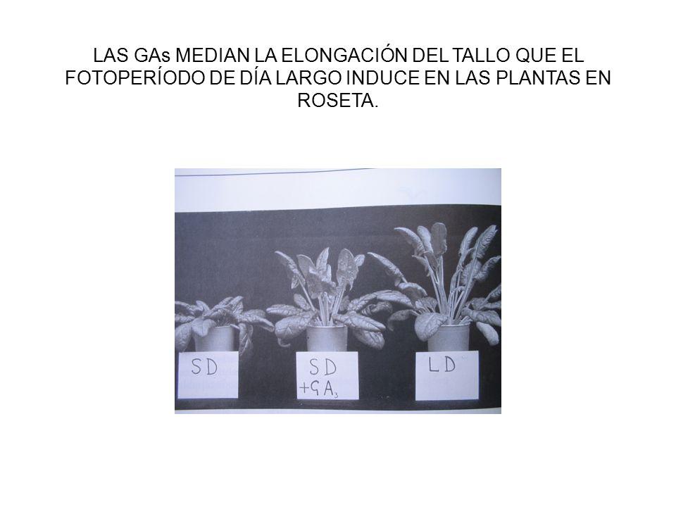 LAS GAs MEDIAN LA ELONGACIÓN DEL TALLO QUE EL FOTOPERÍODO DE DÍA LARGO INDUCE EN LAS PLANTAS EN ROSETA.