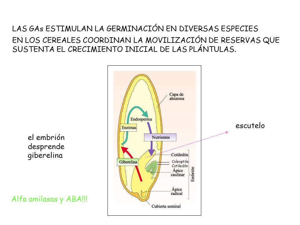 LAS GAs ESTIMULAN LA GERMINACIÓN EN DIVERSAS ESPECIES