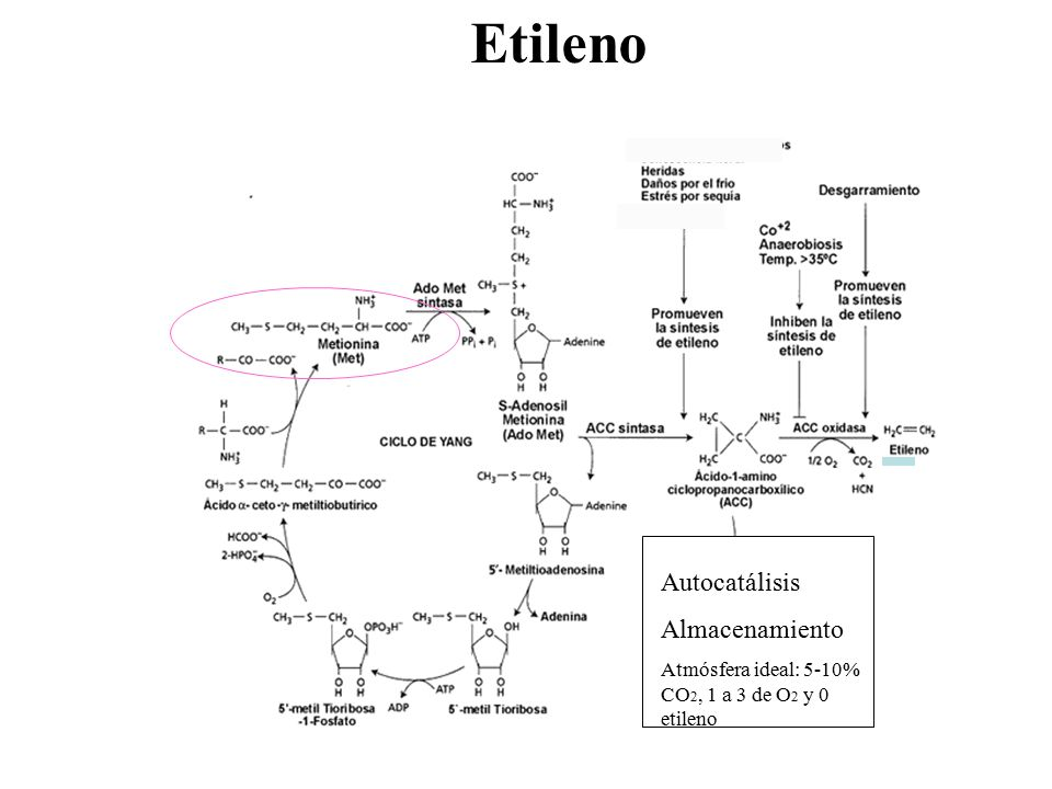 Etileno Autocatálisis Almacenamiento