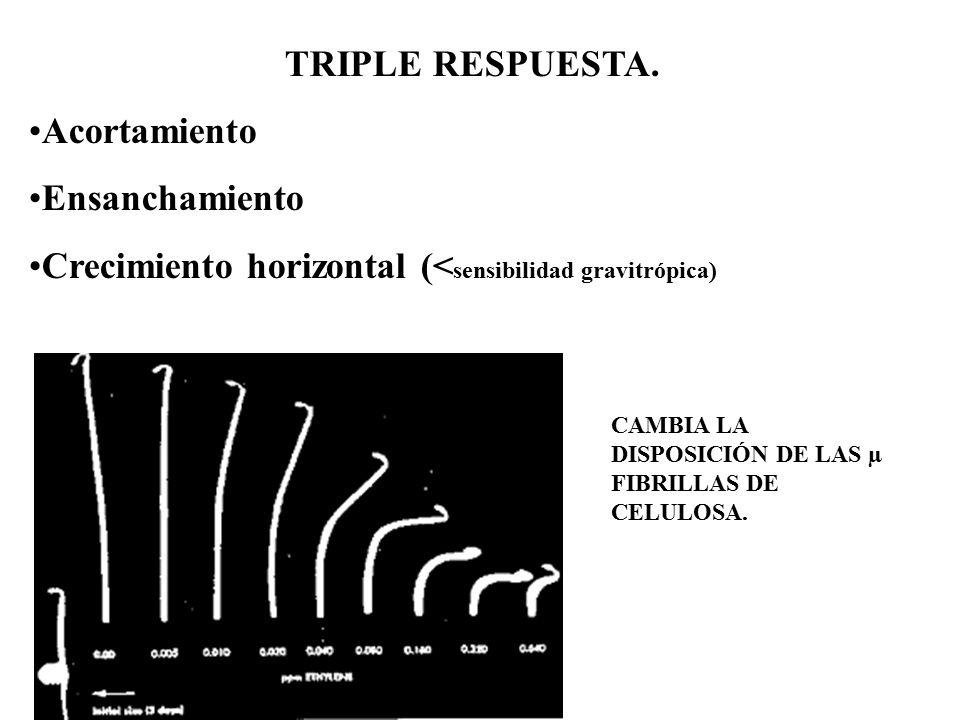 Crecimiento horizontal (<sensibilidad gravitrópica)