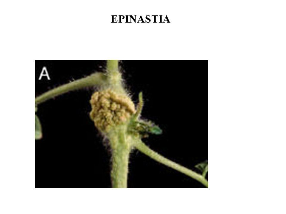 EPINASTIA