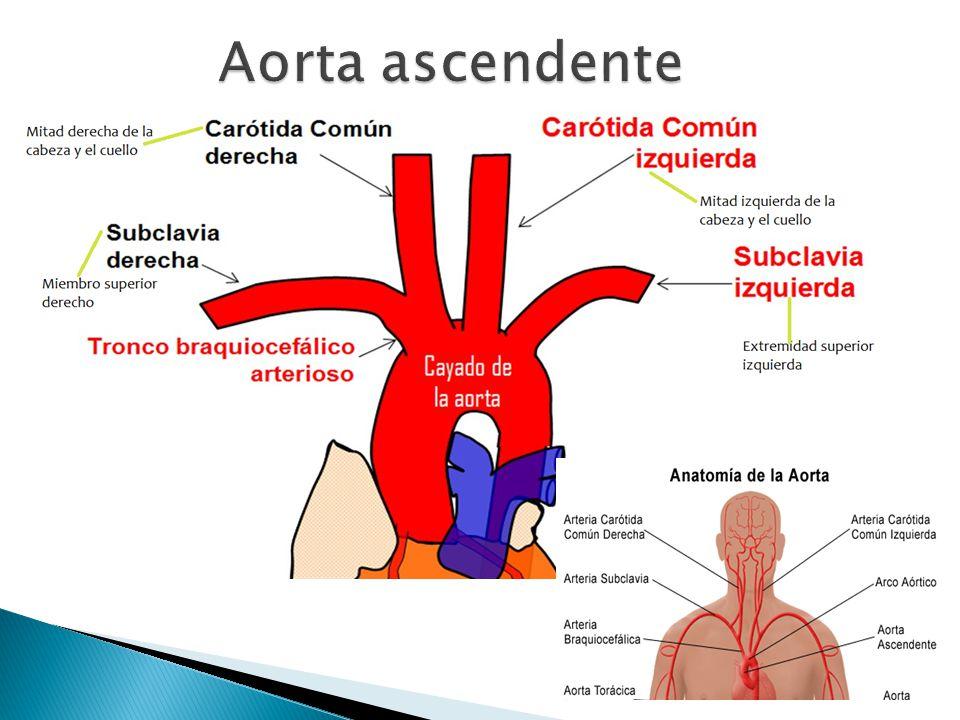 Único Aorta Descendente Elaboración - Anatomía de Las Imágenesdel ...