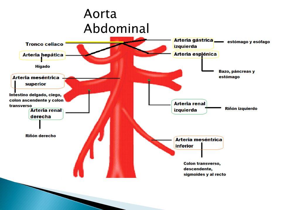 Atractivo Anatomía De La Aorta Y Sus Ramas Cresta - Anatomía de Las ...
