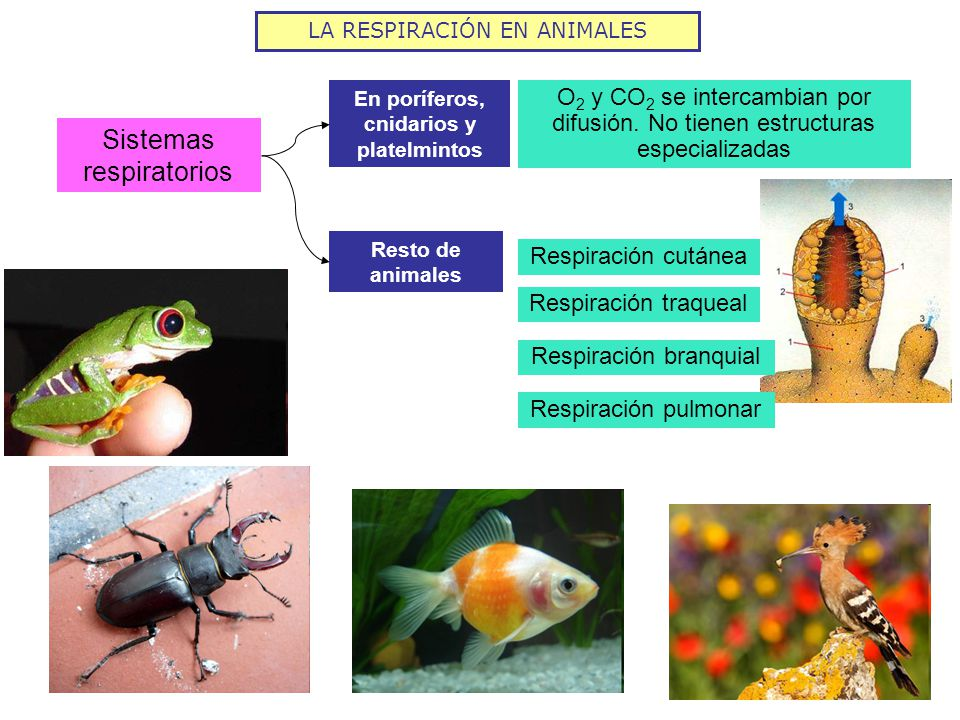 La respiraci n en animales ppt video online descargar for Peces que no necesitan oxigeno